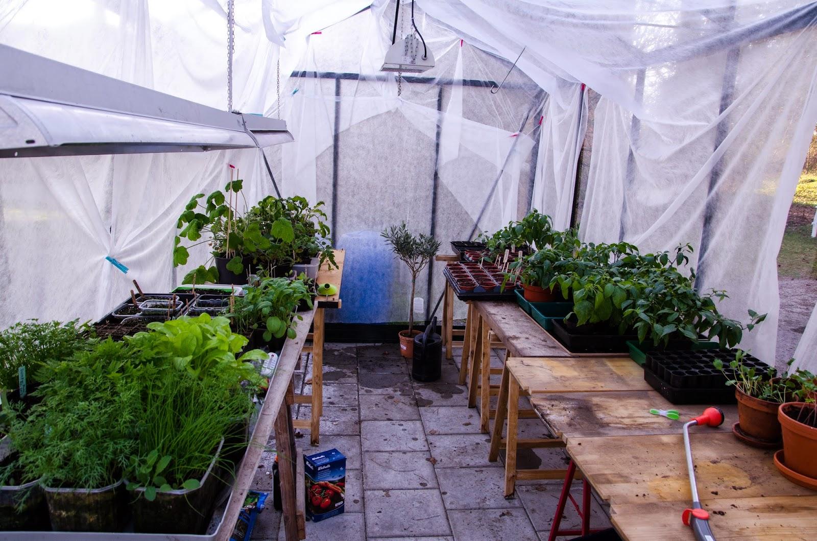 Avhärda plantor i växthuset under fiberduk