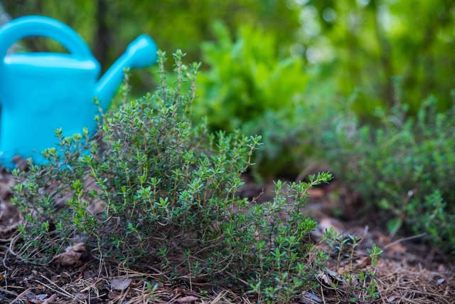 En timjanplanta Farbror Grön