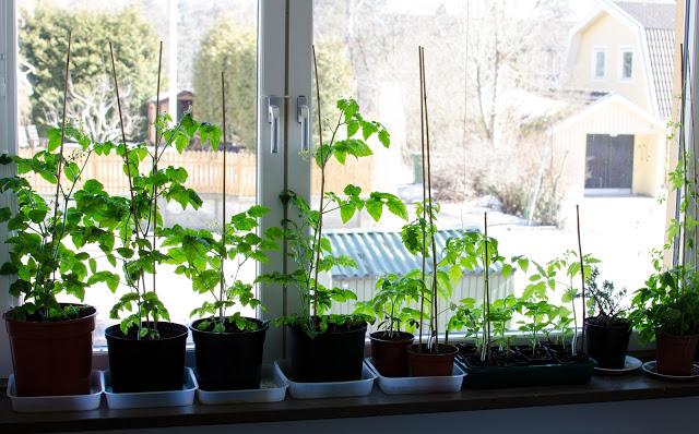 Fönsterodling av tomat Farbror Grön