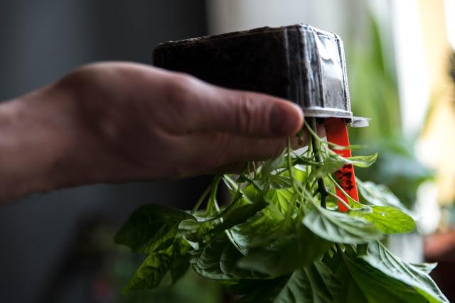 Chili som ska omplanteras Farbror Grön