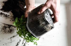 Omplantering av rotselleri