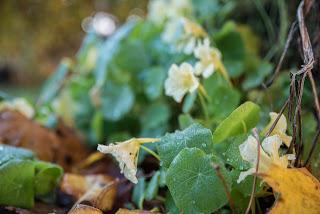 Krasse med vitgula blommor Farbror Grön