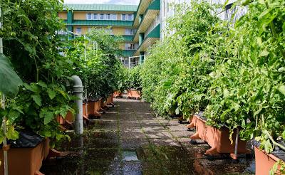 Tomater i Earthboxar på Takfarmen, otjuvade. Farbror Grön