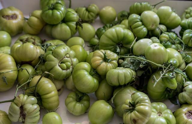 Fullstora gröna tomater intagna för lagring och för att få dem att mogna. Farbror Grön