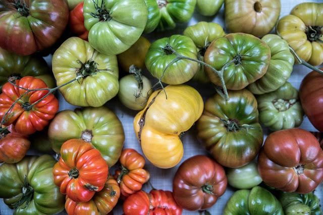 Tomater i olika färger Farbror Grön