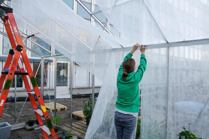 Theres klär in takfarmens växthus med fiberduk.