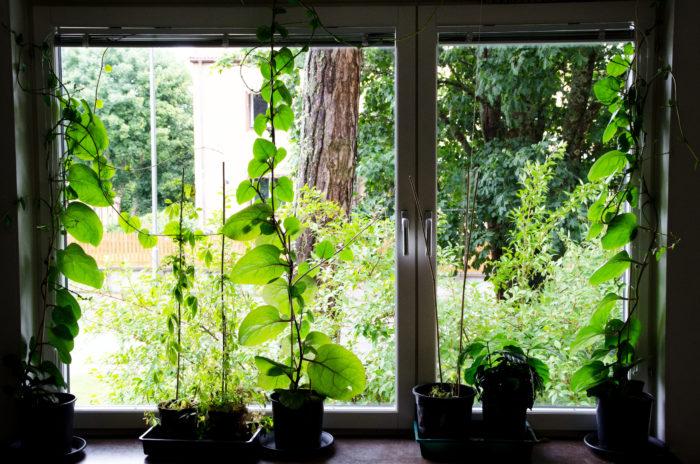 Malabarspenat i fönster
