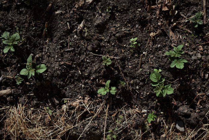 odla potatis Potatisblast i hösilage