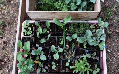 Grönsaksplantor pluggplantor förkultivera