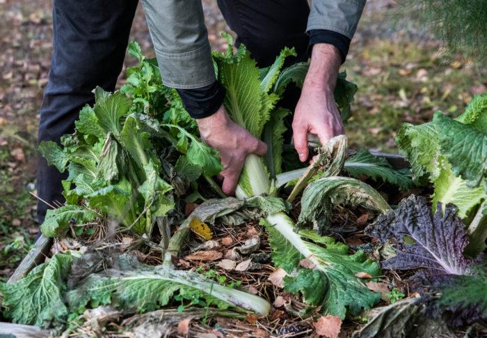 Johannes skördar salladskål i november