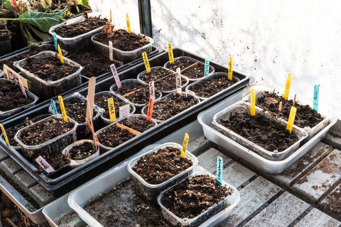 Vintersådder av kål  i kallväxthus