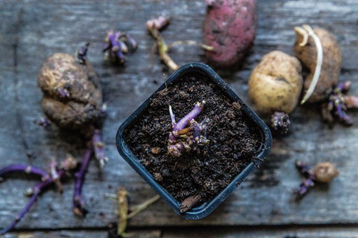 Skapa potatisplantor utifrån groddar