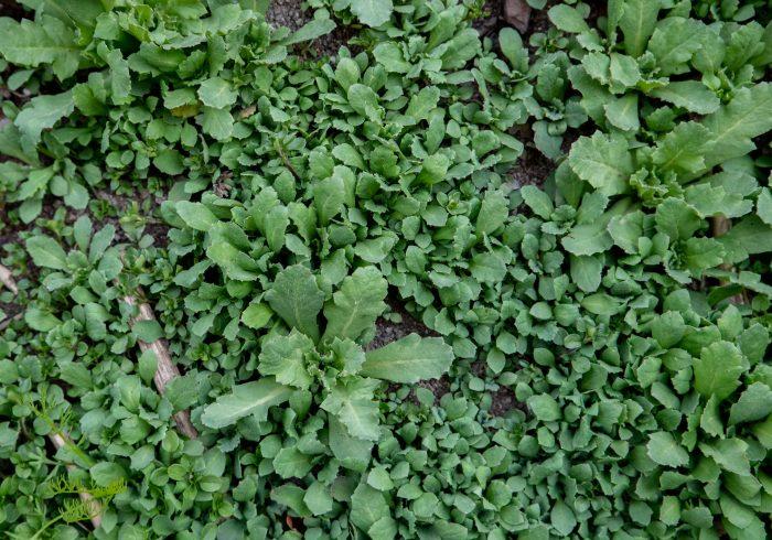 Små vallmoplantor tidigt på våren