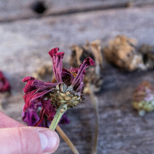 Ta egna frön av zinnia