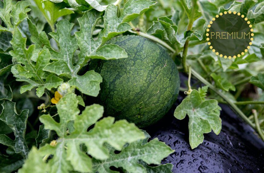 Odla melon – från sådd till skörd